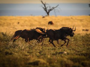 Black Wildebeest at SUNSET Private Reserve