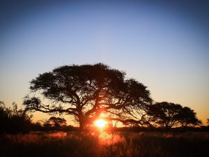 Camel Thorn Tree at SUNSET Private Reserve