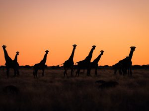 Herd of Giraffe at sunset