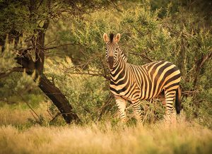 Birchell Zebra at SUNSET Private Reserve