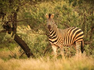 Burchell Zebra at SUNSET Private Reserve