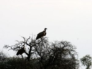 Endangered White-backed Vulture at SUNSET Private Reserve