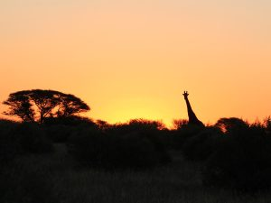 Giraffe at Sunrise at SUNSET Private Reserve