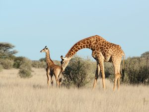 Giraffe with her kalf at SUNSET Private Reserve