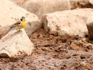 Golden-breasted Bunting at SUNSET Private Reserve