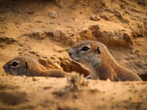 Ground Squirrel at SUNSET Private Reserve