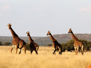 Herd of Giraffe at SUNSET Private Reserve