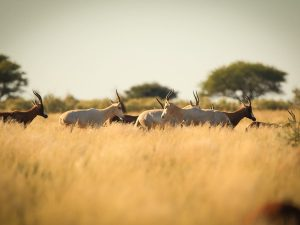 Herd of Blesbuck at SUNSET Private Reserve