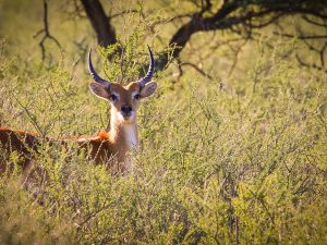 Young Lechwe Bull at SUNSET Private Reserve