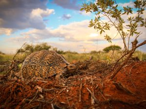 Leopard Tortoise SUNSET Private Reserve