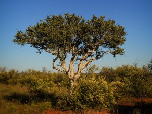 Sheperds Tree at SUNSET Private Reserve