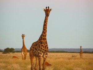 Three Giraffe at SUNSET Private Reserve