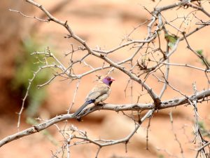 Violet-eared Waxbill at SUNSET Private Reserve 2