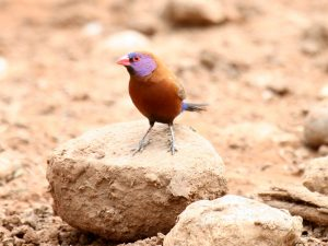Violet-eared Waxbill at SUNSET Private Reserve